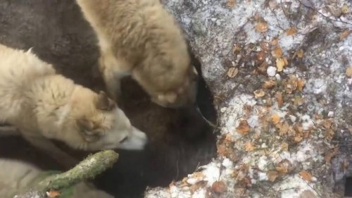 Трое на одного... Охота на медведя на берлоге с ЗСЛ
