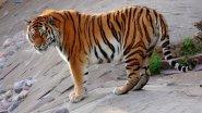 Амурский тигр. Дикие животные. Незваный гость в лесу. Документальный фильм National Geographic.