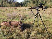 Охота на трофейного самца оленя во время гона