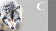 Интересное о волках