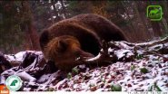 Огромный медведь в объективе фотоловушки