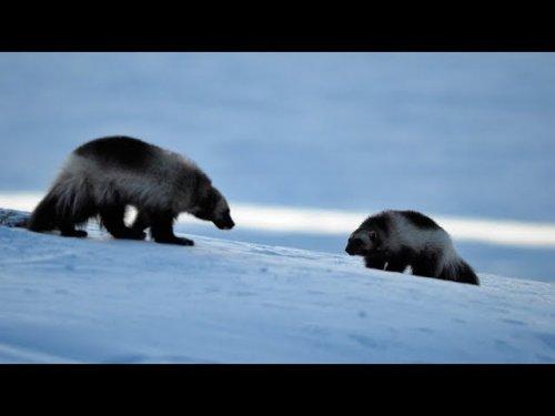 Нашествие росомах в Якутии! Очень редкие кадры!!!