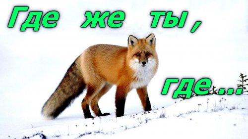 Охота на лису из засидки и электронным манком (неудачная)