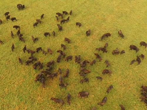 Зубры в дикой природе. European bison.