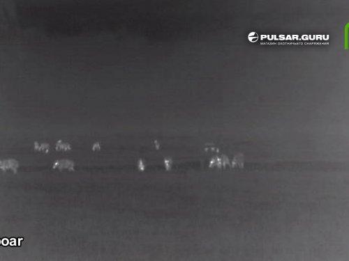 Неожиданная встреча со стадом кабанов в Беларуси ночью