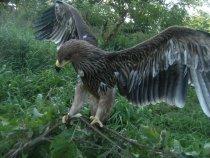 Императорский орел (Орел могильник)