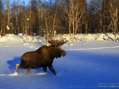 Рассказ об охоте на лося