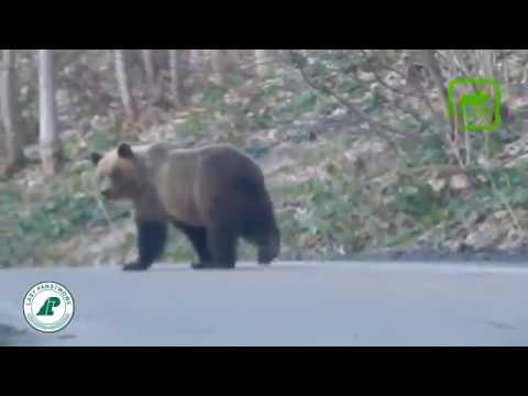 Медведи гуляют по дороге #2 Вести из леса 12.04.18