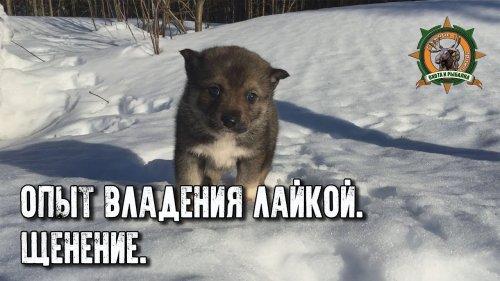 Таёжные приключения/Опыт владения лайкой/Щенение