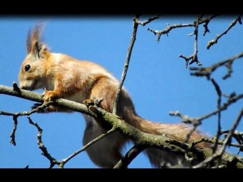 Утренняя прогулка белки. A squirrel walks