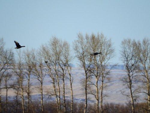 фото охота на гуся
