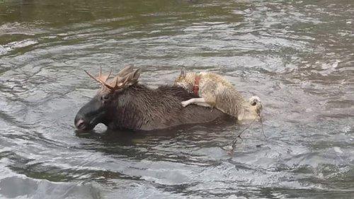 Лайки. Работа по лосю. Охота с лайкой на лося.