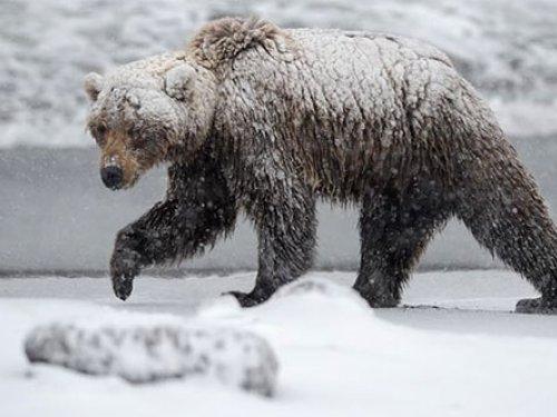 Медведь отомстил охотникам прямо… в чайник