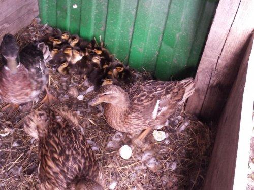 две выседили в одном гнезде.