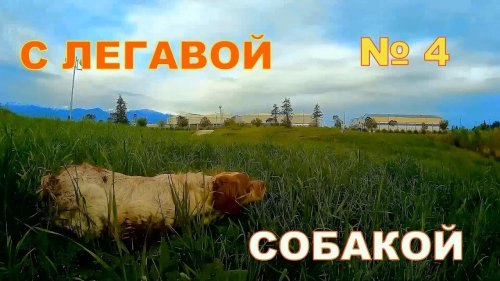 С легавой собакой № 4