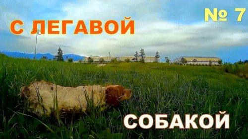 С легавой собакой № 7. Перепёлка весна  2018 г .