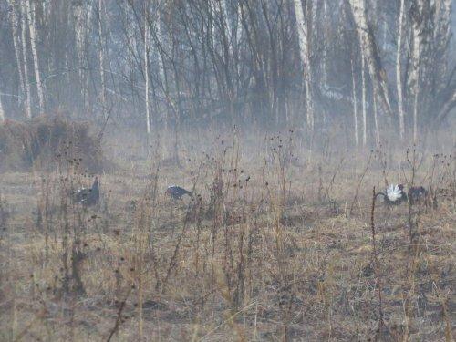 Косачи в тумане