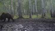 Медведь покасть в камеру залез