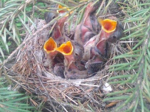 Птенцы.