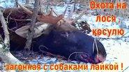 Охота на лося и косулю загонная с собаками лайкой