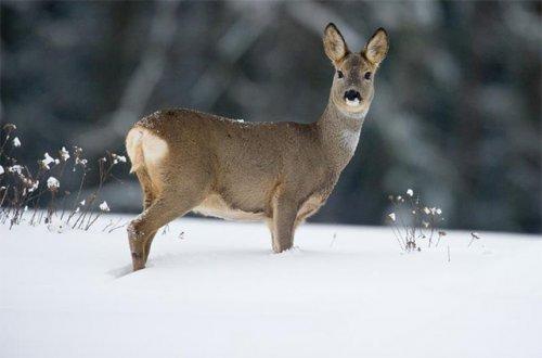 Отличный выстрел! Загонная охота на косулю зимой