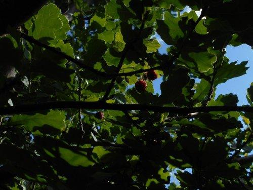 На дубе растёт ягода!
