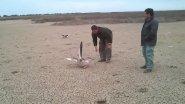 Охота с подсадными гусями