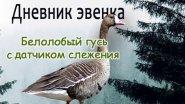 Белолобый гусь со спутниковым передатчиком.//White-fronted goose with satellite transmitter.