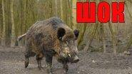 ШОК!! Убойная охота на кабана.