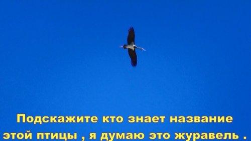 Подскажите кто знает название этой птицы , я думаю это журавель