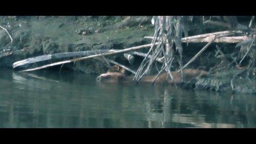 Выход бобра на реке.