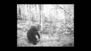медведь гагнам стайл