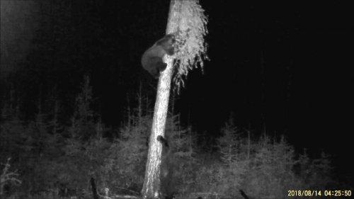Медвежья попытка диверсии на мешок с салом.