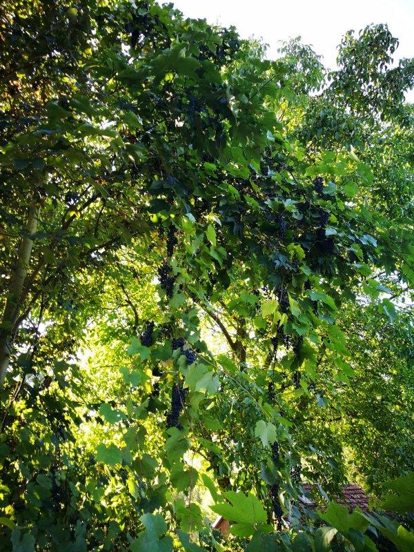 Виноградное дерево.