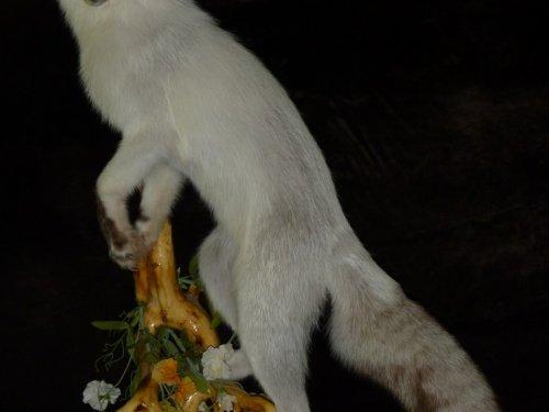 Лисица дикая - белая морфа.