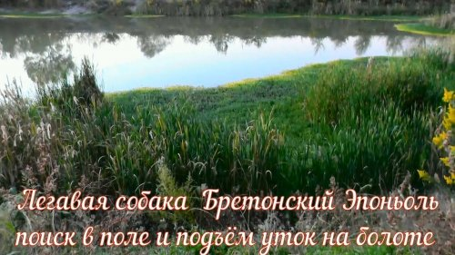 Легавая собака Бретонский Эпоньоль поиск в поле и подъём уток на болоте