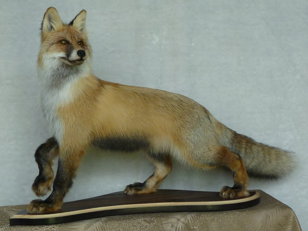 Чучело лисицы.