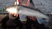 Трудовая рыбалка на судака. Трофейный клыкастый