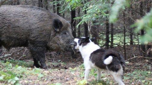 Собака загнала кабана в угол