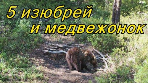 ШОК!!! 5 изюбрей на солонце и медвежонок-одиночка. Фотоловушка