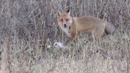 Fox attacks Goose!Преступление и Наказание!