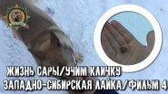Жизнь Сары/Западно-сибирская лайка/Фильм4/Приучаю к кличке