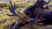 Охота на лося. Команда попала в цель. Moose hunting.