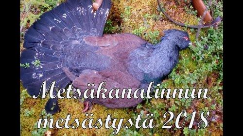 Охота в Финляндии 2018 (рябчик, глухарь)