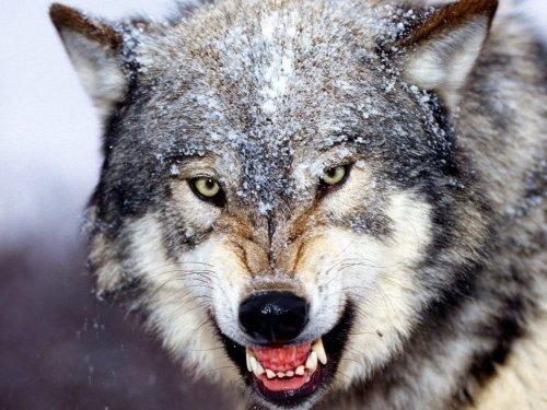 «Озверевшие» звери