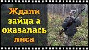 Задор поставил лису под выстрел. Нагонка молодого выжлеца Русской гончей.