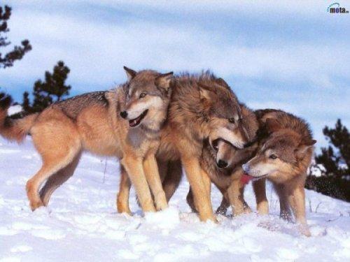 Уральцев терроризируют волчьи стаи.