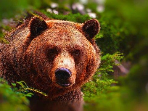Три роковых медведя.