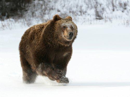 Три роковых медведя