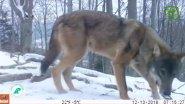 Стая волков в объективе фотоловушки #3 Вести из леса